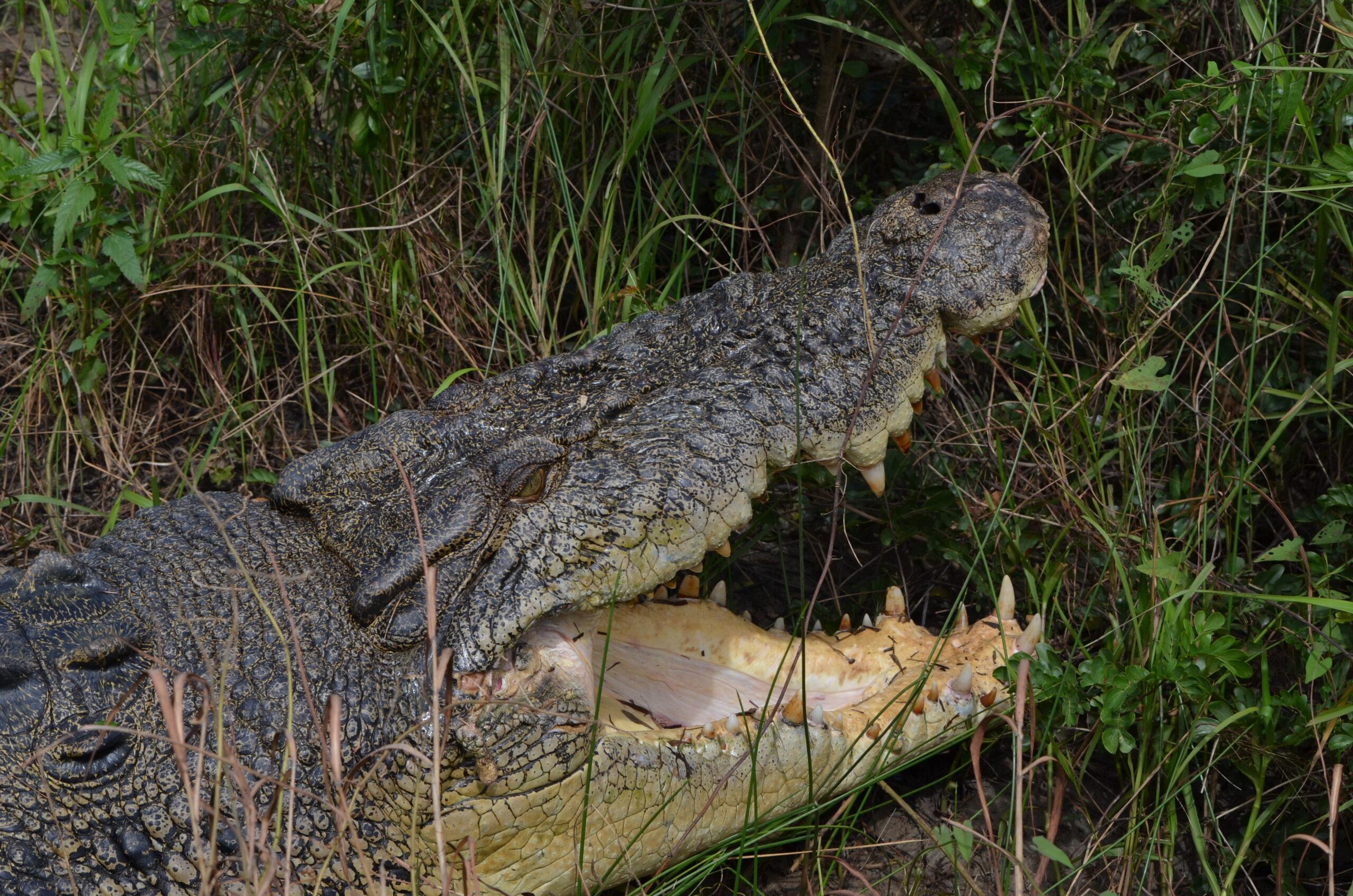 Saltwater Croc - Trevor